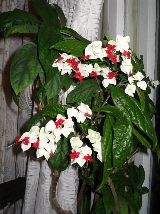 комнатный цветок лиана фото